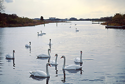 Swans on a pond during a sunset in Southampton, NY