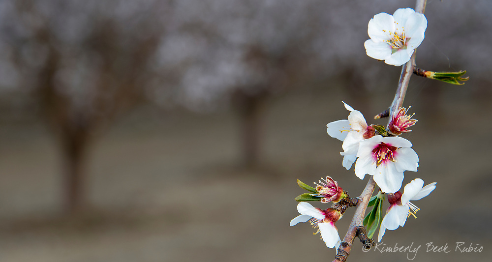 Flowering almond branch with white and pink blossoms in a nut orchard in Woodland, Yolo County, California.