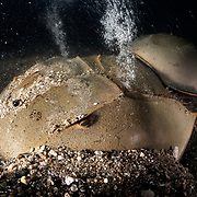 These are endangered tri-spine horseshoe crabs (Tachypleus tridentatus) engaged in spawning. The larger female in front has just started to burrow into the substrate to deposit eggs, with the smaller male attached to the rear.<br />