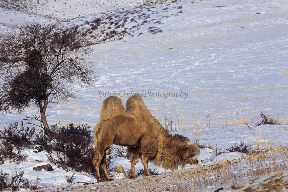 Bactrian camel (Camels bactrians)<br /> Khustain Nuruu National Park<br /> Mongolia<br /> Winter