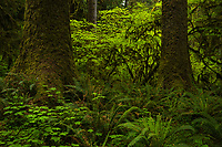 Old growth douglas firs and lush understory vegetation in the Hoh Rainforest, Olympic National Park, Washington