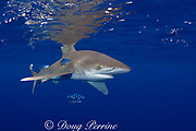 oceanic whitetip shark ( Carcharhinus longimanus ) with pilot fish  ( Naucrates ductor ), Kona Coast, Hawaii Island ( the Big Island ) Hawaiian Islands ( Central Pacific Ocean )