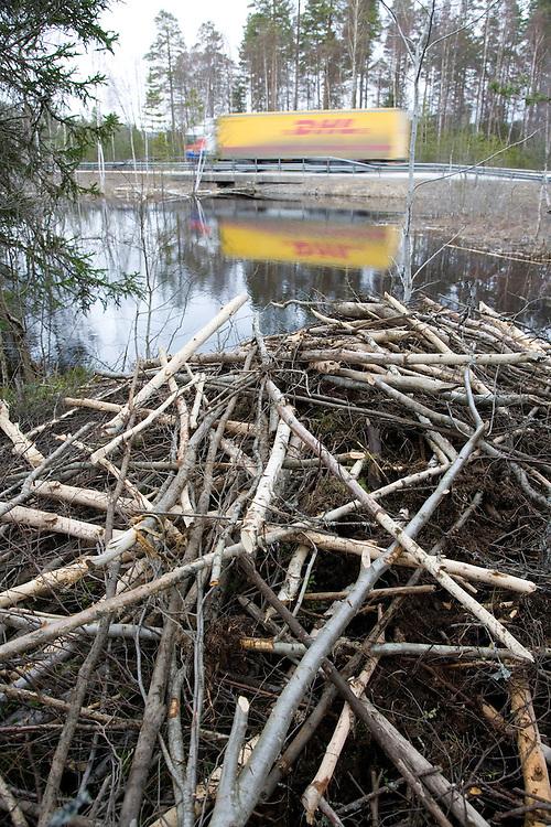 Lodge built by European beaver (Castor Fibor), close to main road, Bergslagen, Sweden.