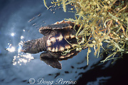loggerhead turtle, Caretta caretta, hatchling hiding in clump of floating sargassum in open ocean off Florida ( Western Atlantic Ocean )
