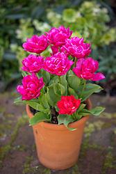 Tulip 'Queen Jewel' in terracotta pot