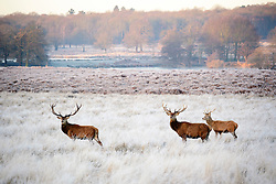 © Licensed to London News Pictures. 05/01/2017. London, UK. Deer stag seen grazing on a frozen landscape in Richmond Park, London as cold weather continues across the UK. Photo credit: Ben Cawthra/LNP