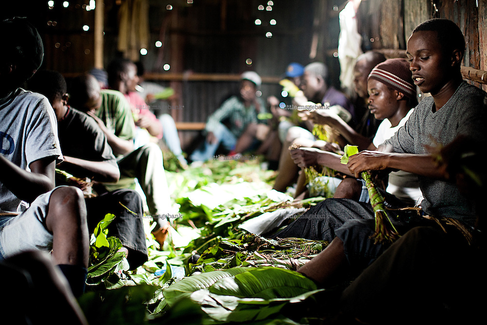 Nairobi, Kenya, 22.10.2010. Men at work in a distribution center for Khat. They are preparing the leaves for international distribution. Khat is known as a vital source of income for the islamist militia Al-Shabab, based in Somalia. The kenyan capital of Nairobi has long been a destination for somali refugees fleeing the fighting betwen African Union troops (AU) and Al-Shabab fighters. Most of the refugees end up living in a suburb of Nairobi by the name of Eastleigh. Photo: Christopher Olssøn.