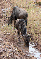 Two Wildebeests, Connochaetes taurinus, drink from a small stream in Serengeti National Park, Tanzania