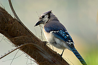 Blue Jay (Cyanocitta cristata),  Green Cay Nature Area, Delray Bea   Photo: Peter Llewellyn