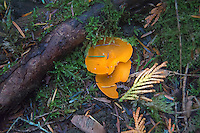 This commonly-encountered, weird cup-shaped mushroom is a type of cup-fungus. Like whenever looking at mushrooms - what you are actually seeing is the above-ground fruiting bodies of the year-round fibrous strands that are actually the real mushroom. These were found growing near the summit of Little Mount Si in North Bend, Washington, and are edible, but may have little to no taste.