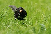 Male blackbird feeding amongst grass in an urban garden.