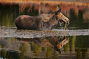 Cow Moose feeding on the moss at Oxbow Bend in Grand Teton National Park. The female is reflected against the late fall foliage.