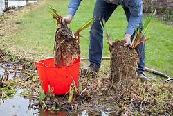 Dividing pond plants - iris - using the back to back fork method