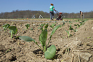 Chester, New York - Laura Nywening, left, and Jay Uhler prepare the soil before planting another row of cabbage at Peace and Carrots Farm on April 23, 2013. The CSA (Community Supported Agriculture) farm is in its first growing season.