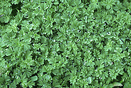 PARSLEY-PIERT Aphanes arvensis (Rosaceae) Creeping<br /> Easily overlooked, greyish green downy annual. Found on dry, bare ground and arable field margins. FLOWERS are minute, petal-less and green; borne in dense, unstalked clusters along stems (Apr-Oct). FRUITS are dry and papery. LEAVES are fan-shaped, deeply divided into 3 lobes and parsley-like. STATUS-Widespread and generally common.