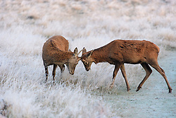 ©  London News Pictures. 08/11/2016. London, UK. Two young deer stags practice rutting in frosty scenery at sunrise in Richmond Park, London on a cold autumn morning. Photo credit: Ben Cawthra/LNP
