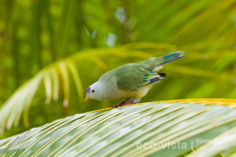 Atoll fruit-dove (Ptilinopus coralensis) bowing as it displays whilst perched on a palm frond. Takapoto, Tuamotus, French Polynesia. November. Near threatened.