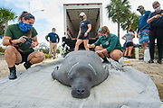 A rescued and rehabilitated Florida Manatee, Trichechus manatus, is released back into the wild by volunteers, local police, Florida Fish & Wildlife officials in North Palm Beach, Florida, United States.