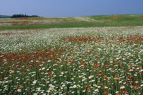 Wildflowers, Oxeye Daisies and orange hawkweed blooming in field. Northern Minnesota.