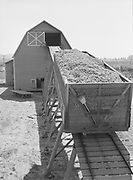 5605Carload of dried hops going to the baling room and warehouse at the E. Clemens Horst hop ranch near Independence, Oregon. September 1, 1942.