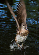 A female mandarin duck lands in a pond at the Red River Zoo in Fargo, ND on June 12, 2018.