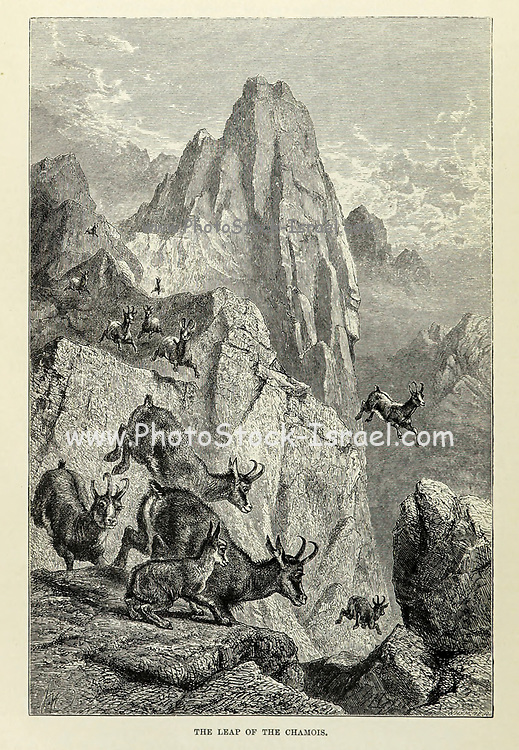 The Leap of the chamois. The chamois (Rupicapra rupicapra) is a species of goat-antelope native to mountains in Europe, From the book ' Royal Natural History ' Volume 2 Edited by Richard Lydekker, Published in London by Frederick Warne & Co in 1893-1894