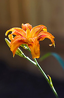 day lilly tiger lilly plant flower orange beautiful garden