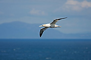 Gannet at Neist Point on the Isle of Skye against the backdrop of North Uist.