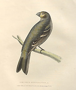 Female Pine Grosbeak (Corythus enucleator), color plate of North American birds from Fauna boreali-americana; or, The zoology of the northern parts of British America, containing descriptions of the objects of natural history collected on the late northern land expeditions under command of Capt. Sir John Franklin by Richardson, John, Sir, 1787-1865 Published 1829