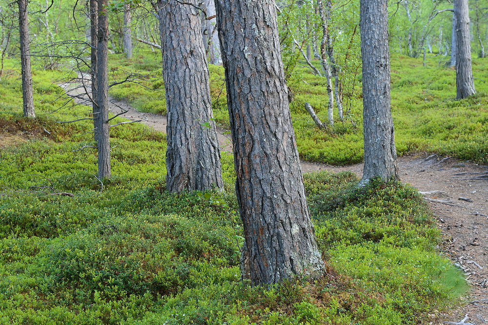 Impressive old-growth pine forest, Scots pine, Pinus silvestris, Saltoluokta area, bordering to the Stora Sjöfallet National Park, Greater Laponia rewilding area, Lapland, Norrbotten, Sweden