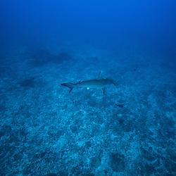 requin marteau, hammerhead shark, Sphyrna mokarran