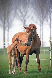 Veulen en merrie<br /> Photo© Dirk Caremans