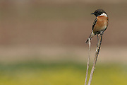 Male African Stonechat (Saxicola torquata) is a member of the Old World flycatcher family Muscicapidae. Israel, Winter January 2007