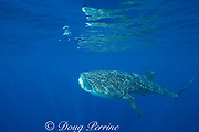 whale shark ( Rhincodon typus ) with mouth open to feed on plankton, Kona Coast Hawaii Island ( the Big Island ), Hawaiian Islands, USA ( Central Pacific Ocean )