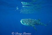 whale shark ( Rhincodon typus ) with mouth open to feed on plankton, Kona Coast Hawaii Island ( the Big Island ), Hawaiian Islands, USA ( Central Pacific Ocean )