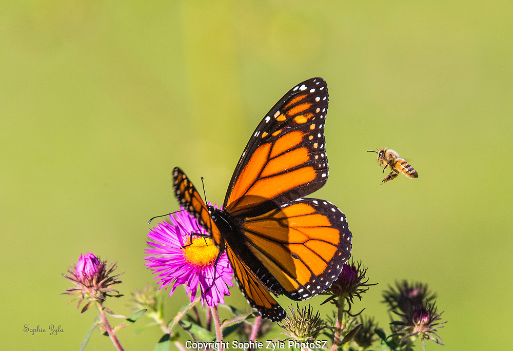The Monarch, The Western Honey Bee, and New England Aster