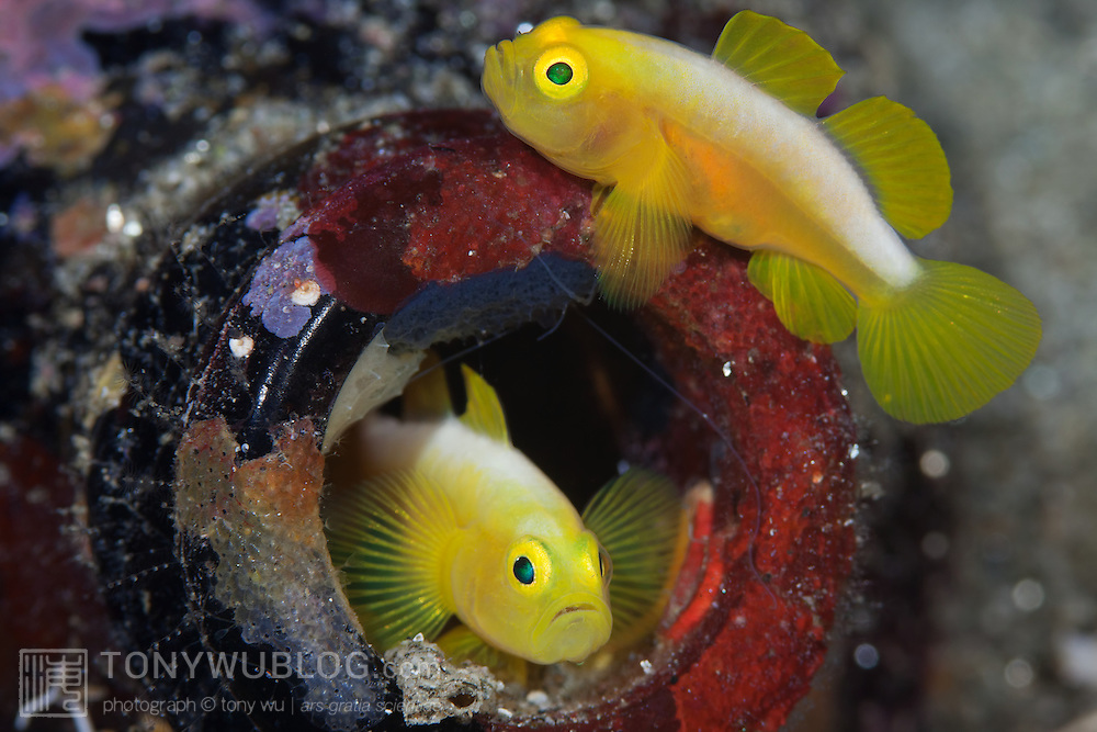 Pair of Dinah's gobies (Lubricogobius dinah) with their beer-bottle home, found at a depth of 30 metres at Observation Point in Milne Bay Province, Papua New Guinea