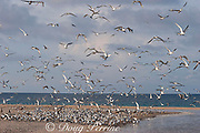 rising spring tide floods across the cay, threatening a breeding colony of crested terns ( Sterna bergii or Thalasseus bergii ) Turu Cay, Torres Straits, Queensland, Australia