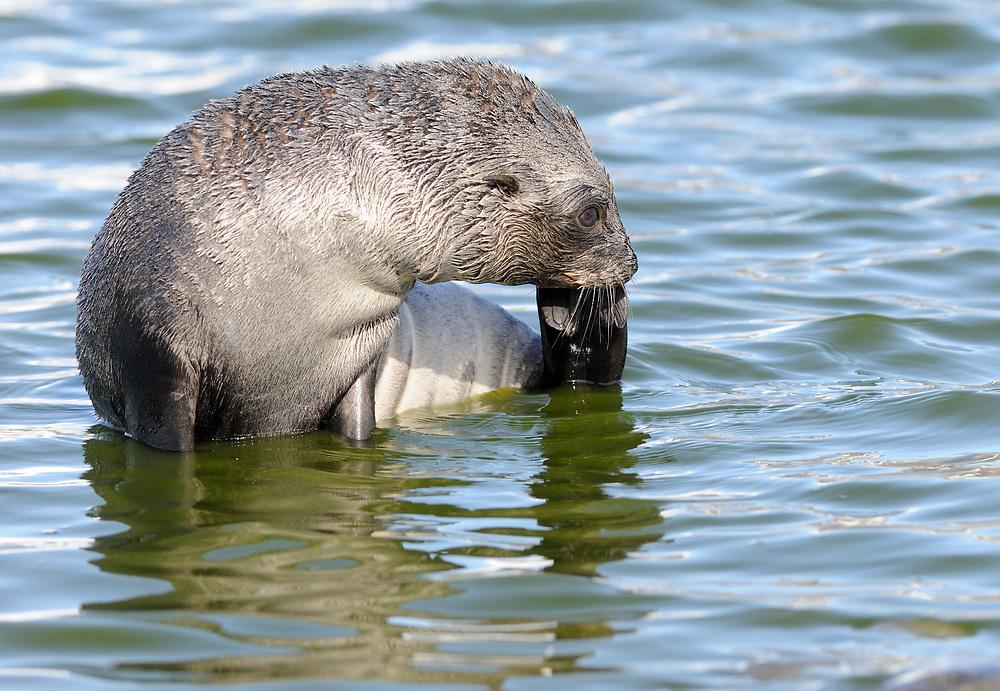 An antarctic fur seal (Arctocephalus gazella)  scratches its chin with its back flipper.  Salisbury Plain, South Georgia. 19Feb16