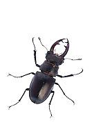 Male stag beetle, Lucanus cervus, Suffolk, England, Europe.