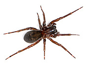 Amaurobius ferox - Female. Our largest lace web spider found near the ground in darker damp habitats under stones and logs in gardens and woodland