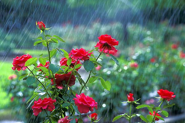 Roses and rain.