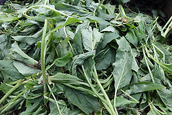 Comfrey being put into compost to enrich soil