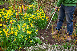 Weeding around narcissus bulbs in a spring border with a hoe