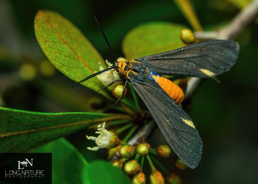 Dahana atripennis - Black-winged Dahana.  Photographed in Lady Lake, FL USA