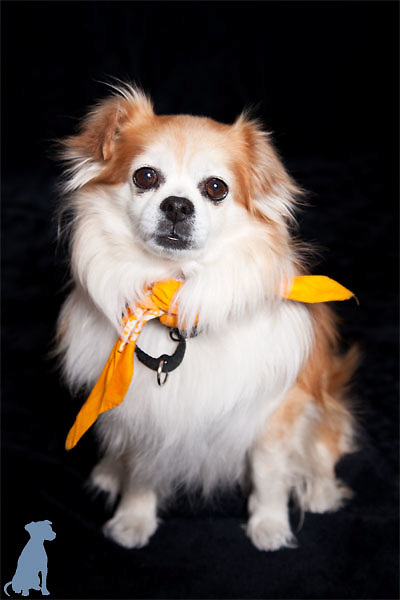 Lordy posing for his adoption portrait.  The yellow bandanna  signifies that he's been a part of the program for a few weeks and is almost ready to be adopted.  Dog photographs by Michael Kloth.