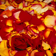 Red and yellow rose petals.