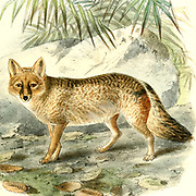 """Azara's Fox - Canis azarae From the Book Dogs, Jackals, Wolves and Foxes A Monograph of The Canidae [from Latin, canis, """"dog"""") is a biological family of dog-like carnivorans. A member of this family is called a canid] By George Mivart, F.R.S. with woodcuts and 45 coloured plates drawn from nature by J. G. Keulemans and Hand-Coloured. Published by R. H. Porter, London, 1890"""