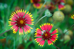 Firewheel wildflower (Gaillardia pulchella), Big Spring historical and natural area, Great Trinity Forest, Dallas, Texas, USA