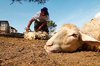 Italie, Sardaigne, Region de Iglesias, Tonte des moutons. // Italy, Sardinia, Shearing sheep, Iglesias area.